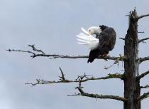 Bald Eagle - Kees Bastmeijer - Alaska (2607)-klein