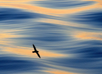 Fulmar-above-the-waves-Spitsbergen-2015-Kees-Bastmeijer-1997-small