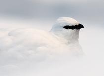 Kulusuk-sneeuwhoen-9704-uitsnede-ii-klein