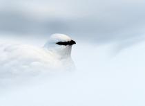 Kulusuk-sneeuwhoen-9704-uitsnede-klein
