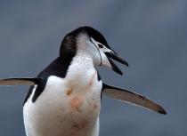 chinstrap-penguin-antarctica-kees-bastmeijer