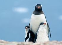 gentoo-penguins-antarctica-kees-bastmeijer-2007