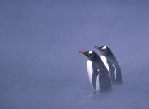 gentoo-penguins-whalers-bay-antarctica-kees-bastmeijer