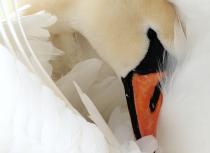 mute-swan-kees-bastmeijer-8096