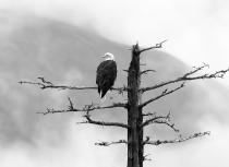 Bald Eagle - Kees Bastmeijer - Alaska (2576)B&W-klein