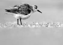 Drieteenstrandloper Florida - Kees Bastmeijer (4089)-klein