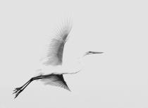 Great white egret - Kees Bastmeijer (4202)-i-klein