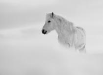 Icelandic horse - Kees Bastmeijer 2016 (5850)-klein