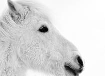 Icelandic horse - Kees Bastmeijer - 2016 (5865)-klein