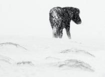 Icelandic horse in snow storm - Kees Bastmeijer-2014 (2037)-klein