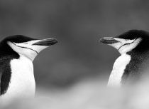 chinstrap-penguins-antarctica-kees-bastmeijer