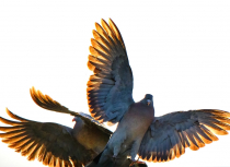 Common-wood-pigeons-fighting-Kees-Bastmeijer-small