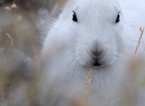 Arctic Hare - Greenland 2014 (4506)-Kees Bastmeijer