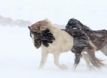 Icelandic horses Feb 2014 (1967)