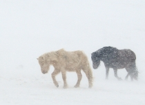 Icelandic horses Feb 2014 (1971)(i)