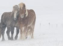 Icelandic horses Feb 2014 (2021)-klein