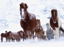 Icelandic horses - Kees Bastmeijer 2016 (5153)-klein