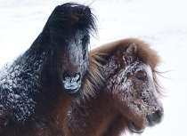 Icelanding horses after a snow storm - Kees Bastmeijer (5145)-klein