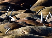Walrus - Spitsbergen - Kees Bastmeijer (0564)-klein