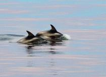 Witsnuitdolfijnen Spitsbergen - Kees Bastmeijer (2220)-klein