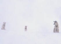 Kulusuk Huskies Greenland - Kees Bastmeijer (9834)-klein