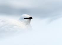 Kulusuk sneeuwhoen (9704)-uitsnede-klein